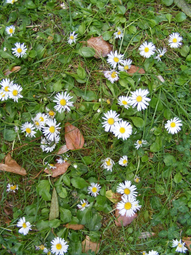 baby daisies