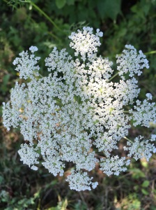 Queen Anne's Lace Up Close