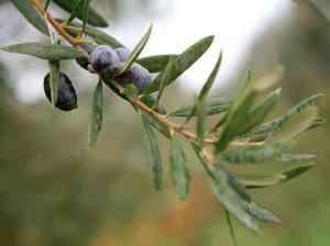 Olive Branch
